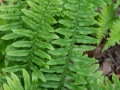 Polypodium glycerrhiza (licorice fern)