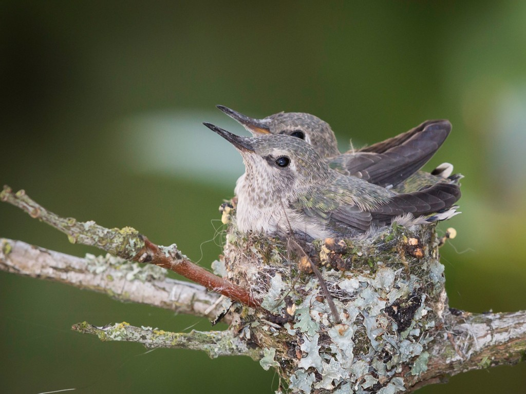 Anna S Hummingbird Babies From Eggs To Empty Nest Real Gardens Grow Natives