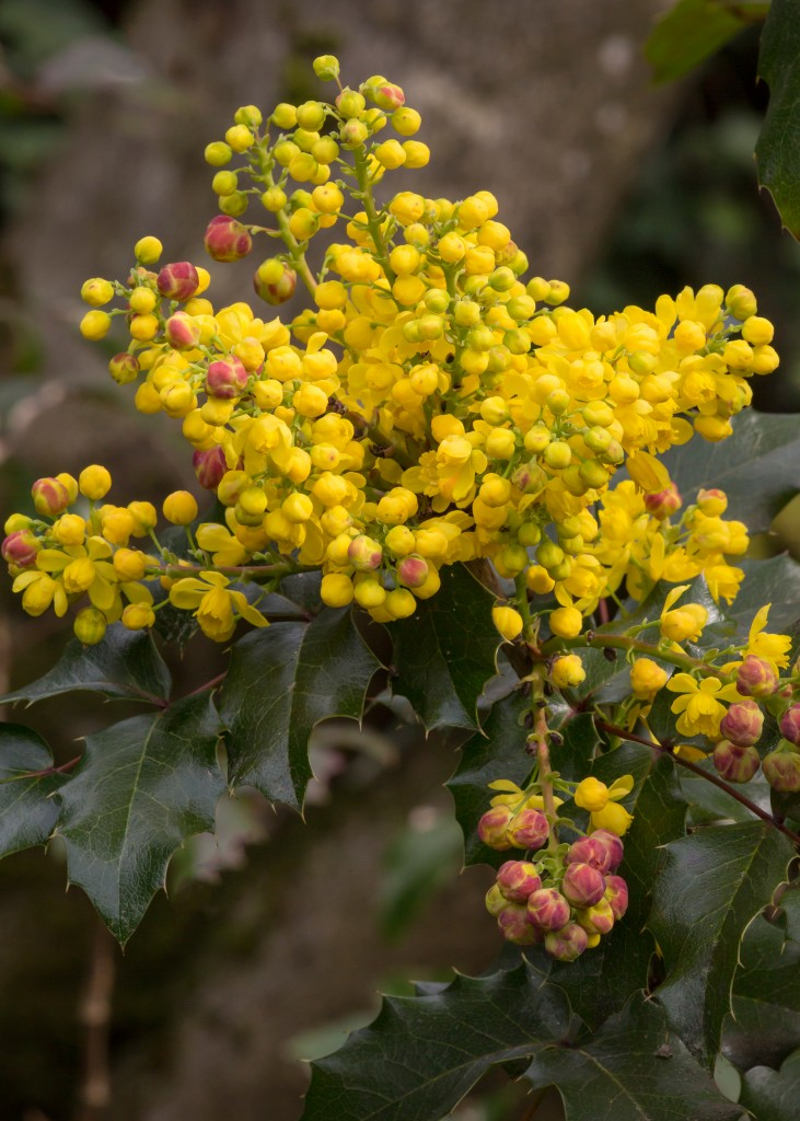 Best Early Spring Flowering Shrubs For Pacific Northwest