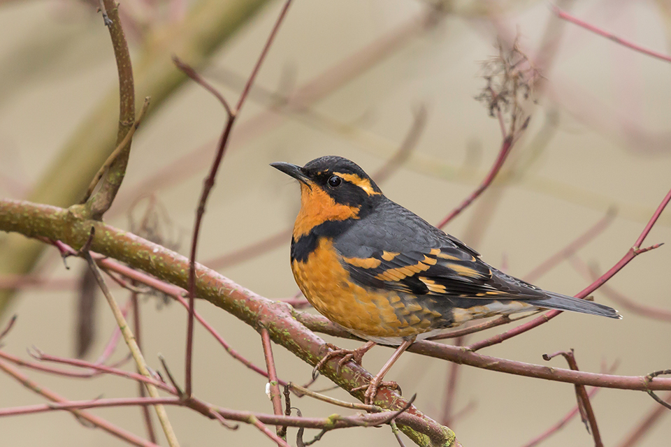 Image result for Winter varied thrush